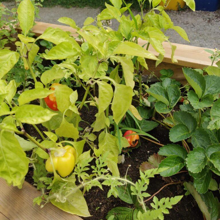 legume din gradina urbana